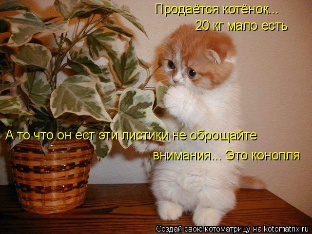 Котоматрица: Продаётся котёнок... 20 кг мало есть А то что он ест эти листики не оброщайте внимания... Это конопля