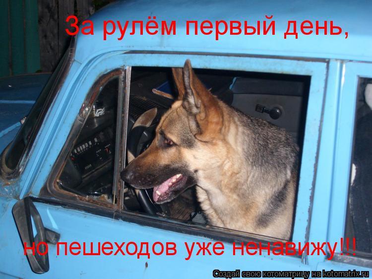Котоматрица: За рулём первый день, но пешеходов уже ненавижу!!!