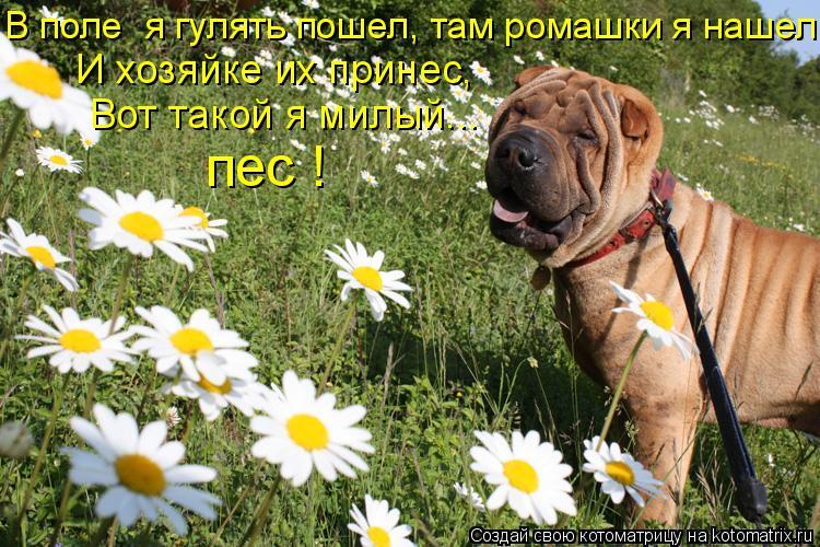 Котоматрица: В поле  я гулять пошел, там ромашки я нашел. пес ! И хозяйке их принес, Вот такой я милый...