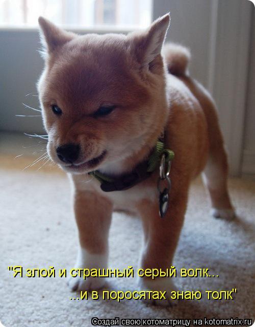 """Котоматрица: """"Я злой и страшный серый волк... ...и в поросятах знаю толк"""""""