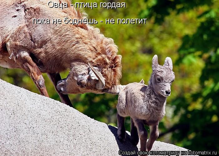 Котоматрица: Овца - птица гордая пока не боднёшь - не полетит