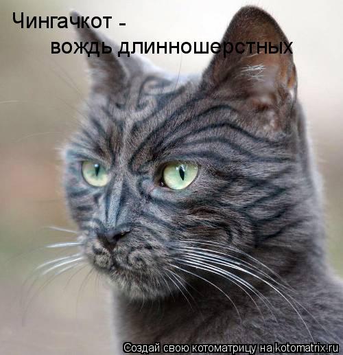 Котоматрица: Чингачкот - вождь длинношерстных