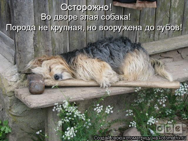 Котоматрица: Осторожно!  Порода не крупная, но вооружена до зубов! Во дворе злая собака!