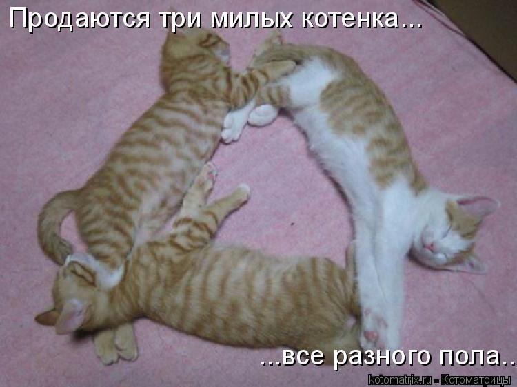 Котоматрица: Продаются три милых котенка... ...все разного пола...