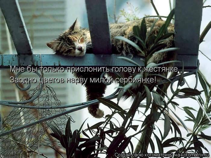Котоматрица: Мне бы только прислонить голову к жестянке, Заодно цветов нарву милой сербиянке!