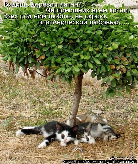 Котоматрица: Видишь дерево платан? Он помошник всем котам! Всех под ним люблю, не скрою, платАнической любовью.....