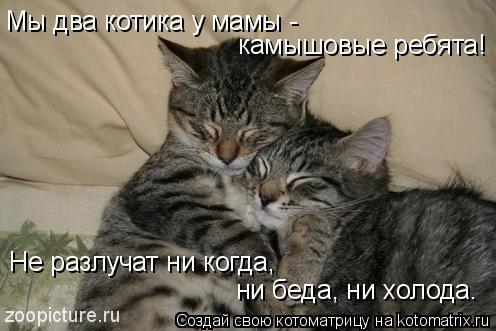 Котоматрица: Мы два котика у мамы -  камышовые ребята! ни беда, ни холода.  Не разлучат ни когда,