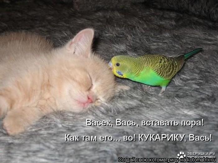 Котоматрица: Васек, Вась, вставать пора! Как там его... во! КУКАРИКУ, Вась!