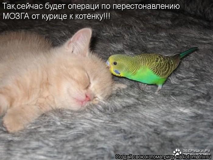 Котоматрица: Так,сейчас будет операци по перестонавлению МОЗГА от курице к котёнку!!!