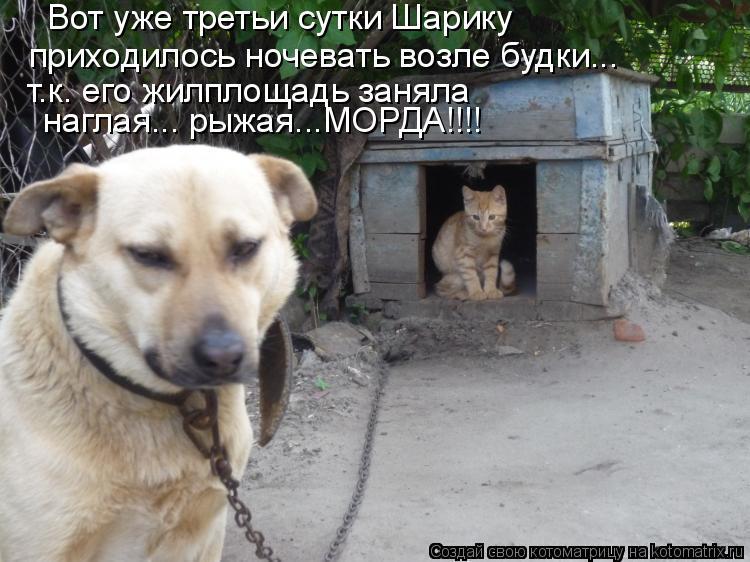 Котоматрица: Вот уже третьи сутки Шарику  приходилось ночевать возле будки... т.к. его жилплощадь заняла  наглая... рыжая...МОРДА!!!!