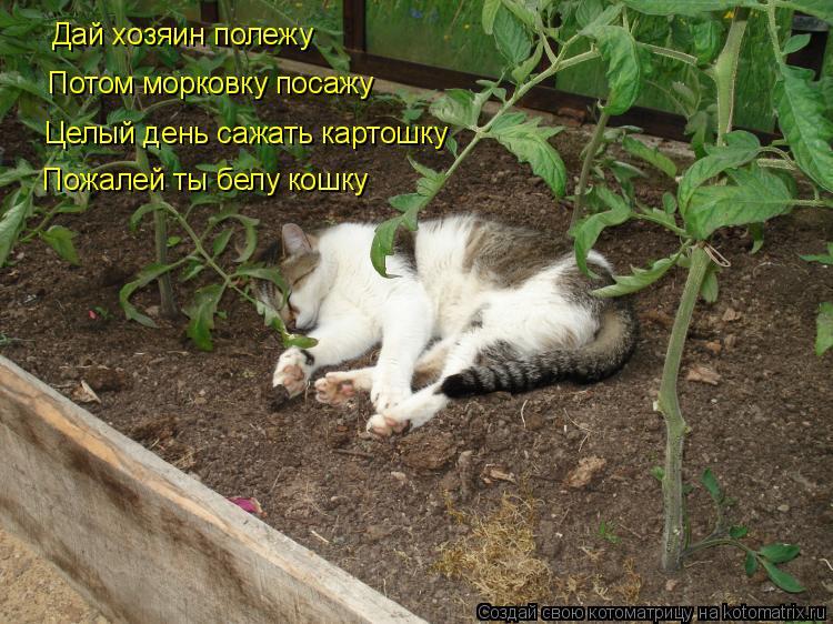 Котоматрица: Дай хозяин полежу Потом морковку посажу Целый день сажать картошку Пожалей ты белу кошку