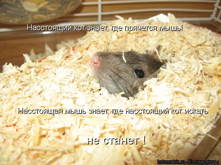 Котоматрица: Насстоящий кот знает, где прячется мышь! Насстоящая мышь знает, где насстоящий кот искать не станет !