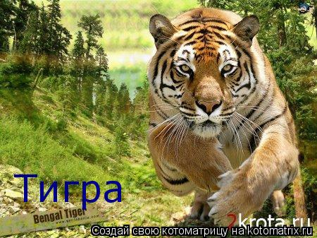 Котоматрица: Тигра