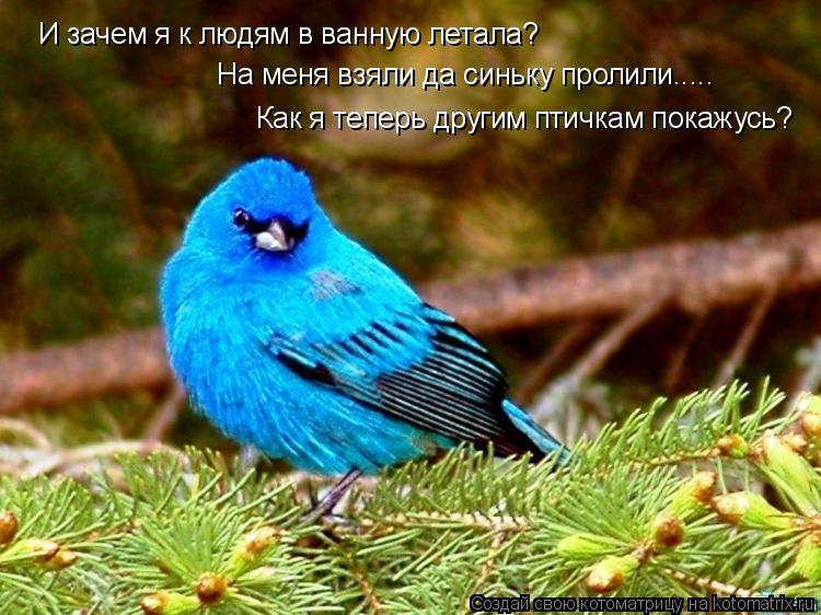 Котоматрица: И зачем я к людям в ванную летала? На меня взяли да синьку пролили..... Как я теперь другим птичкам покажусь?