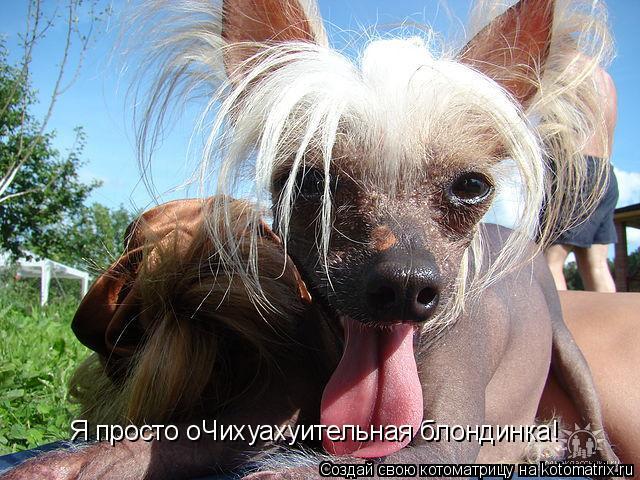 Котоматрица: Я просто оЧихуахуительная блондинка!