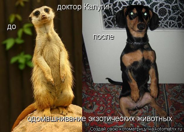 Котоматрица: доктор Калугин одомашнивание экзотических животных до после