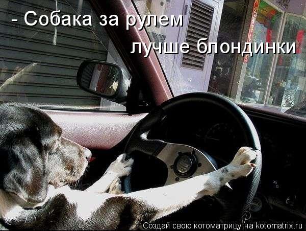 Котоматрица: лучше блондинки - Собака за рулем