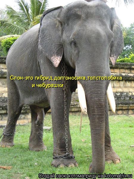 Котоматрица: Слон-это гибрид долгоносика,толстолобика  и чебурашки