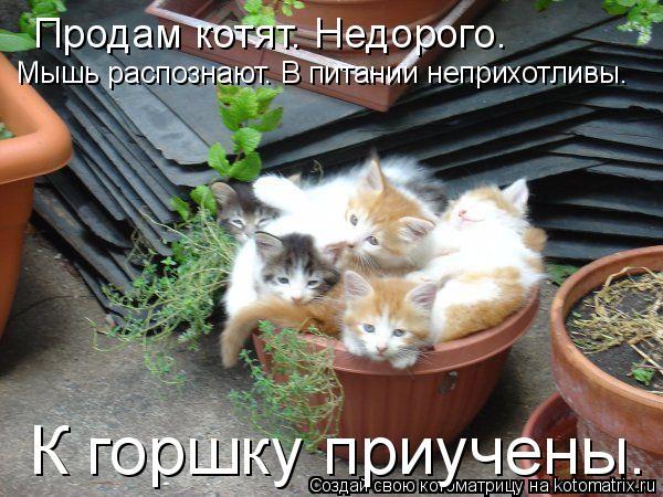 Котоматрица: Продам котят. Недорого. Мышь распознают. В питании неприхотливы. К горшку приучены.