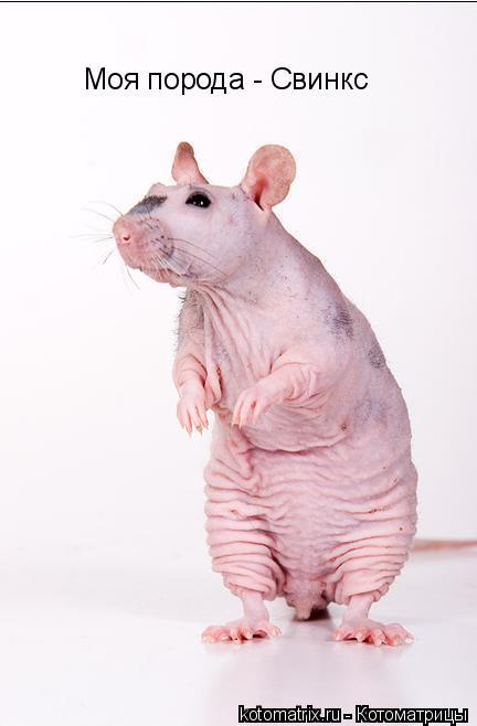 Котоматрица: Моя порода - Свинкс