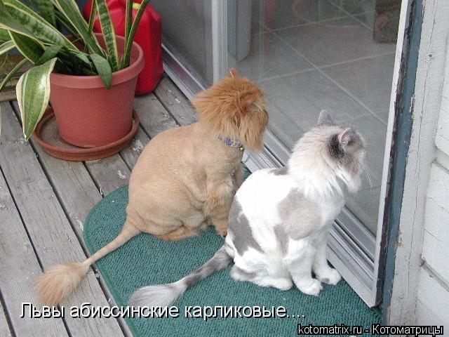 Котоматрица: Львы абиссинские карликовые....