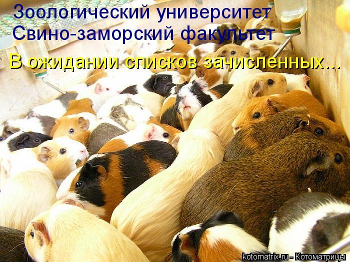 Котоматрица: Зоологический университет Свино-заморский факультет В ожидании списков зачисленных...