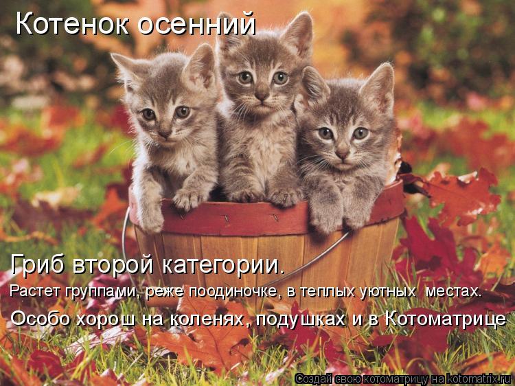 Котоматрица: Котенок осенний Гриб второй категории.  Растет группами, реже поодиночке, в теплых уютных  местах. Особо хорош на коленях, подушках и в Котом
