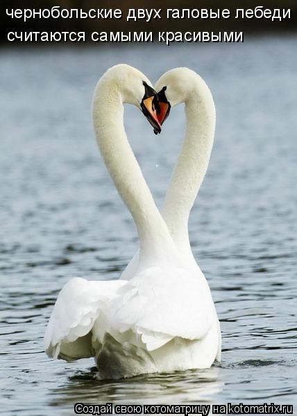Котоматрица: чернобольские двух галовые лебеди  считаются самыми красивыми