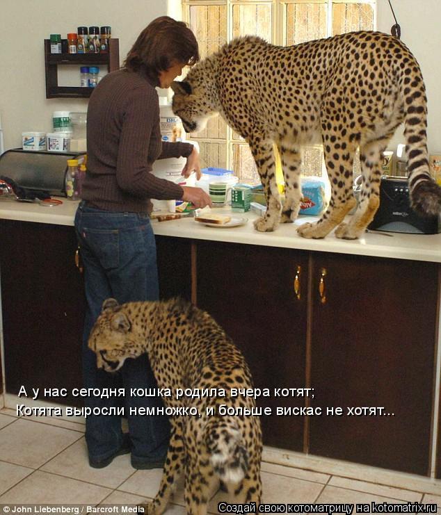 Котоматрица: А у нас сегодня кошка родила вчера котят; Котята выросли немножко, и больше вискас не хотят...