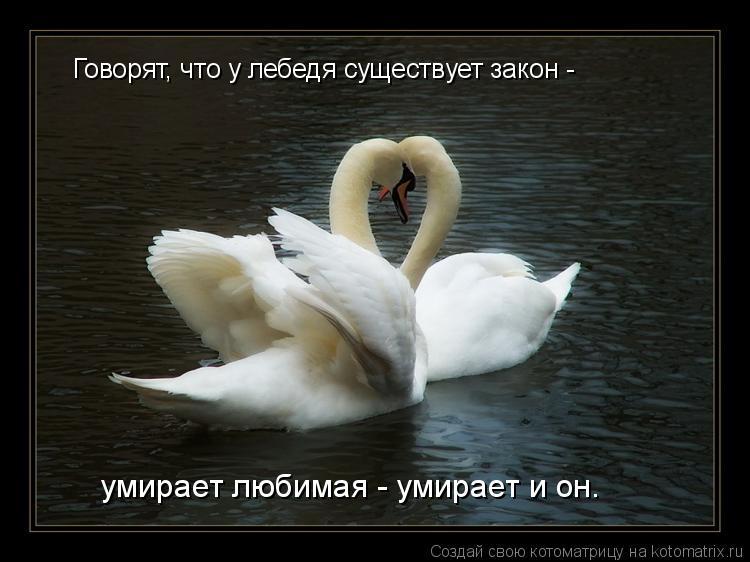 Котоматрица: Говорят, что у лебедя существует закон -  умирает любимая - умирает и он.