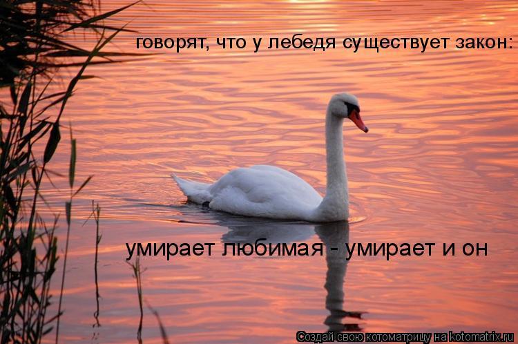 Котоматрица: говорят, что у лебедя существует закон: умирает любимая - умирает и он
