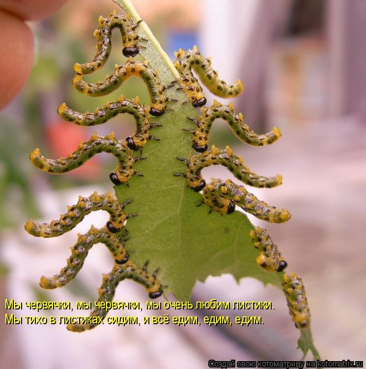 Котоматрица: Мы червячки, мы червячки, мы очень любим листики. Мы червячки, мы червячки, мы очень любим листики.  Мы тихо в листиках сидим, и всё едим, едим,