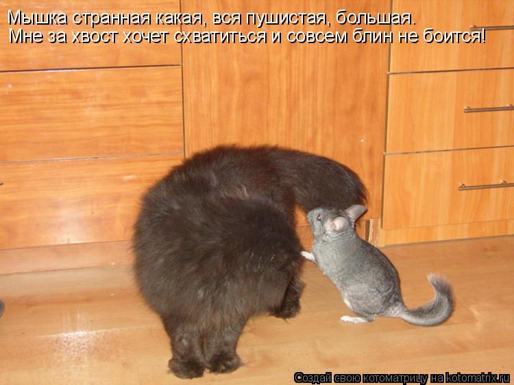 Котоматрица: Мышка странная какая, вся пушистая, большая. Мне за хвост хочет схватиться и совсем блин не боится!