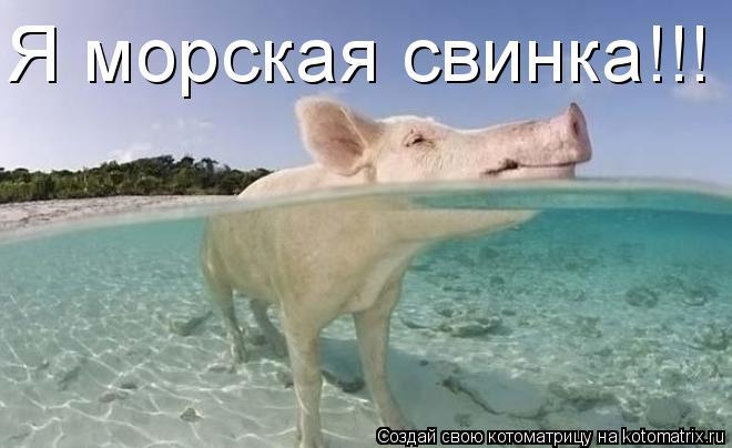 Котоматрица: Я морская свинка!!!