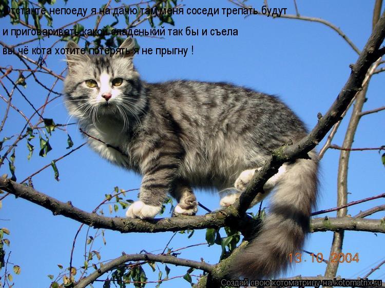 Котоматрица: Отстанте непоеду я на дачю там меня соседи трепать будут и приговаривать какой сладенький так бы и съела вы чё кота хотите потерять я не пры