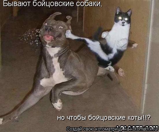 Котоматрица: Бывают бойцовские собаки,  Бывают бойцовские собаки,  Бывают бойцовские собаки,  но чтобы бойцовские коты!!?