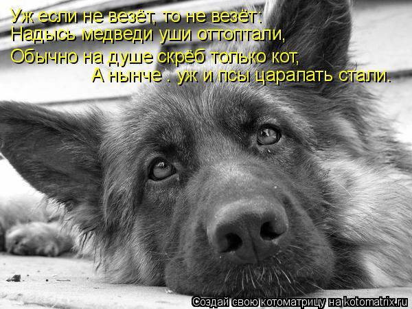 Котоматрица: Уж если не везёт, то не везёт: Надысь медведи уши оттоптали, Обычно на душе скрёб только кот, А нынче – уж и псы царапать стали.
