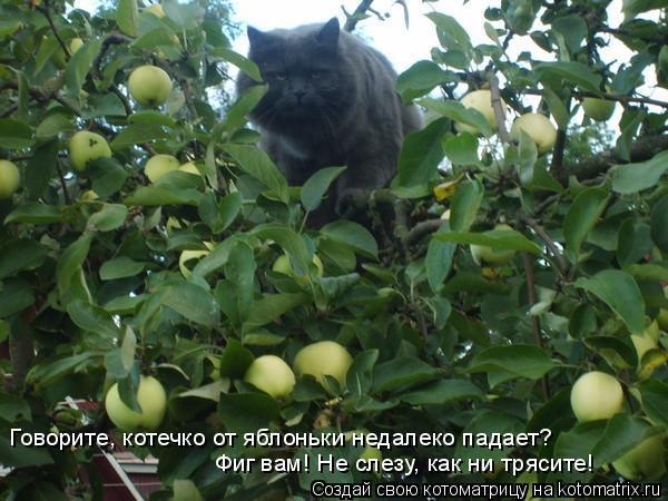 Котоматрица: Говорите, котечко от яблоньки недалеко падает? Фиг вам! Не слезу, как ни трясите!