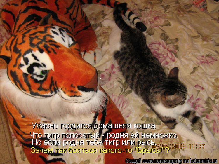"""Котоматрица: Ужасно гордится домашняя кошка Что тигр полосатый - родня ей немножко. Но если родня тебе тигр или рысь, Зачем так бояться какого-то """"Брысь!""""?"""