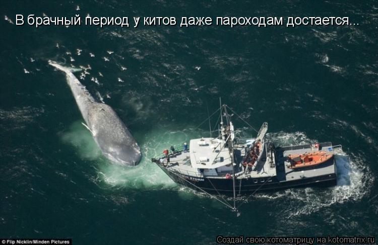 Котоматрица: В брачный период у китов даже пароходам достается...