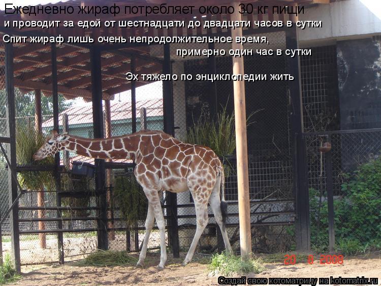 Котоматрица: Ежедневно жираф потребляет около 30 кг пищи  и проводит за едой от шестнадцати до двадцати часов в сутки Спит жираф лишь очень непродолжител