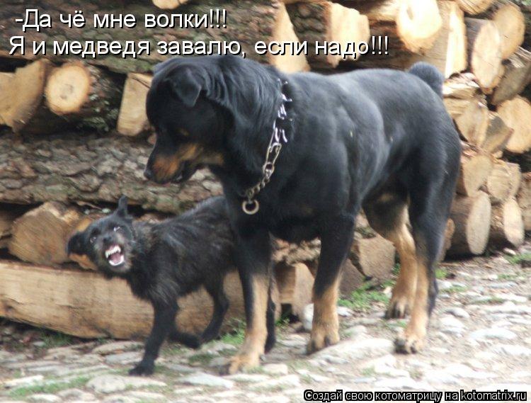 Котоматрица: -Да чё мне волки!!! Я и медведя завалю, если надо!!!
