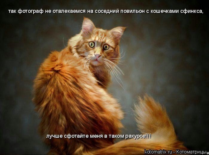Котоматрица: так фотограф не отвлекаемся на соседний повильон с кошечками сфинкса, лучше сфотайте меня в таком ракурсе!!!