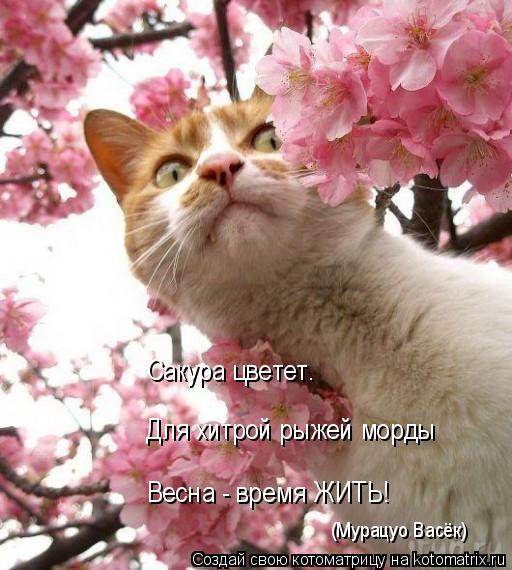 Котоматрица: Сакура цветет. Для хитрой рыжей морды Весна - время ЖИТЬ! (Мурацуо Васёк)