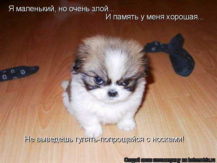 Котоматрица: Я маленький, но очень злой... И память у меня хорошая... Не выведешь гулять-попрощайся с носками!