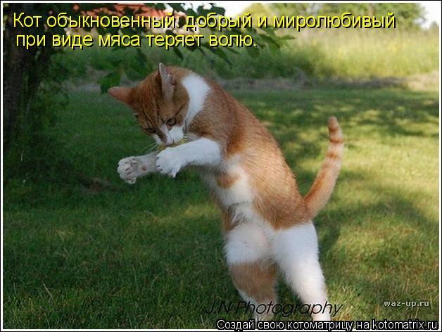 Котоматрица: Кот обыкновенный: добрый и миролюбивый при виде мяса теряет волю.