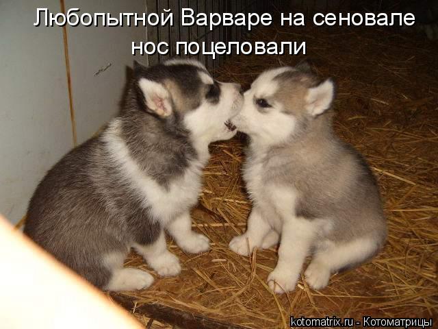 Котоматрица: Любопытной Варваре на сеновале нос поцеловали