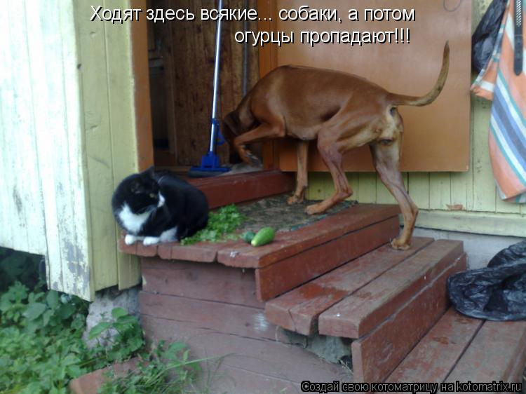 Котоматрица: Ходят здесь всякие... собаки, а потом огурцы пропадают! Ходят здесь всякие... собаки, а потом  огурцы пропадают!!!