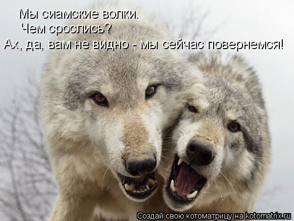 Котоматрица: Мы сиамские волки. Чем срослись? Ах, да, вам не видно - мы сейчас повернемся!