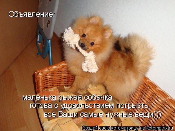 Котоматрица: Объявление: маленька рыжая собачка готова с удовольствием погрызть все Ваши самые нужные вещи)))